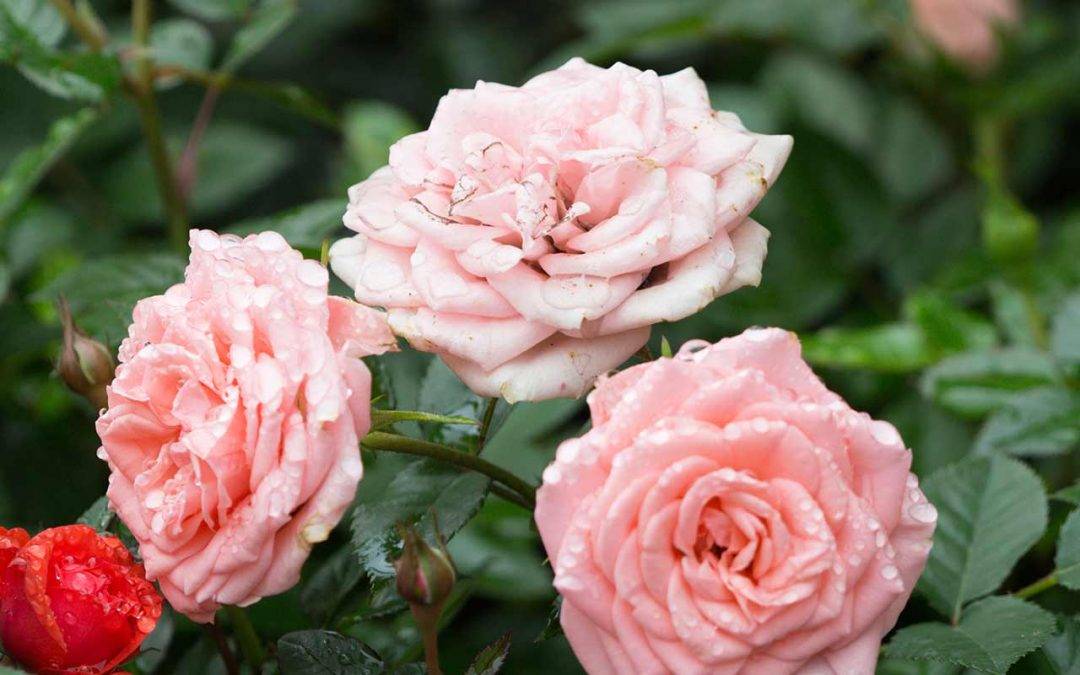 General tree Tips For Growing Roses In Your Portland Yard