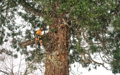Forest Grove Sequoia Tree Removal Used In Playground Creation