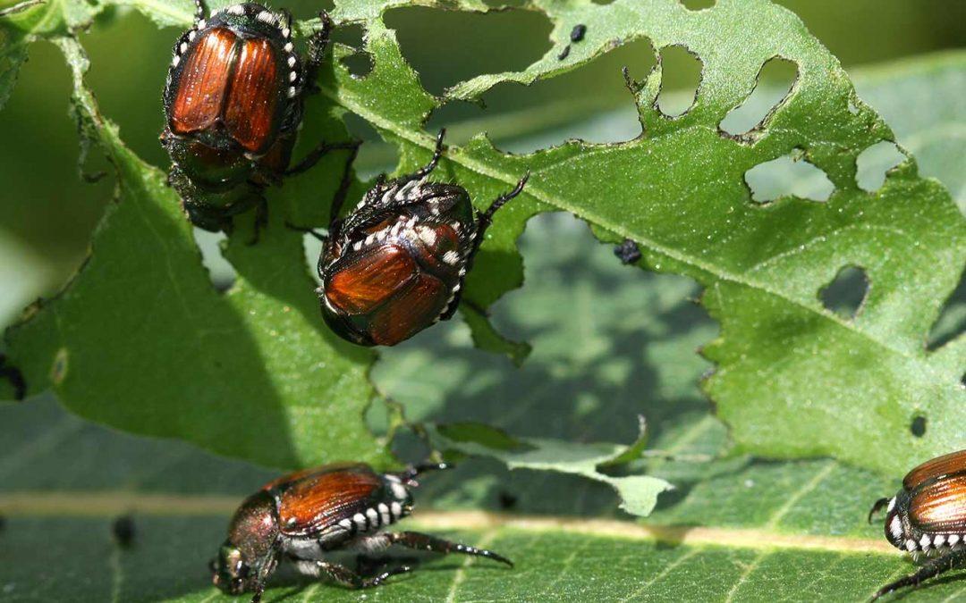 General tree Japanese Beetle